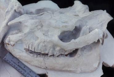 Big Rhino – Subhyracodon