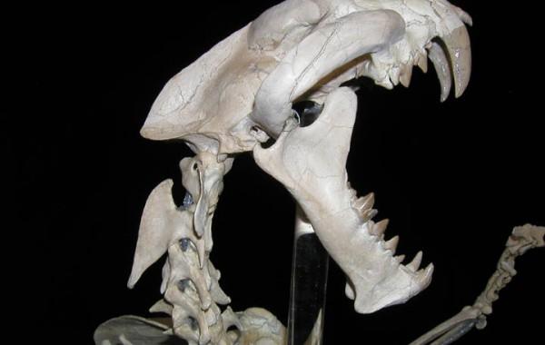 Dinictis felina (Saber tooth Cat)
