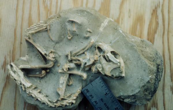 Palaeolagus (rabbit)