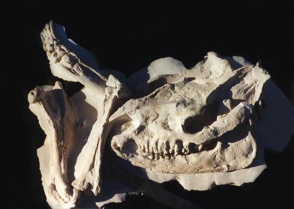Subhyracodon (big rhino) Skull and legs