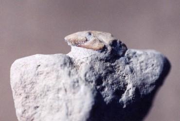 Reptiles – Lizards Amphisbaenid
