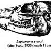 Deer Like – Leptomeryx