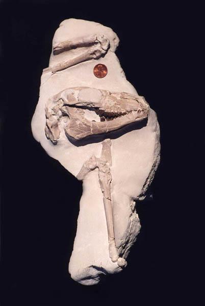 Camel – Poebrotherium or Eotylopus
